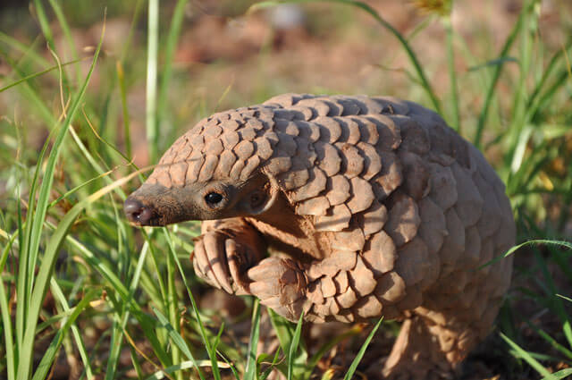 Image of a pangolin