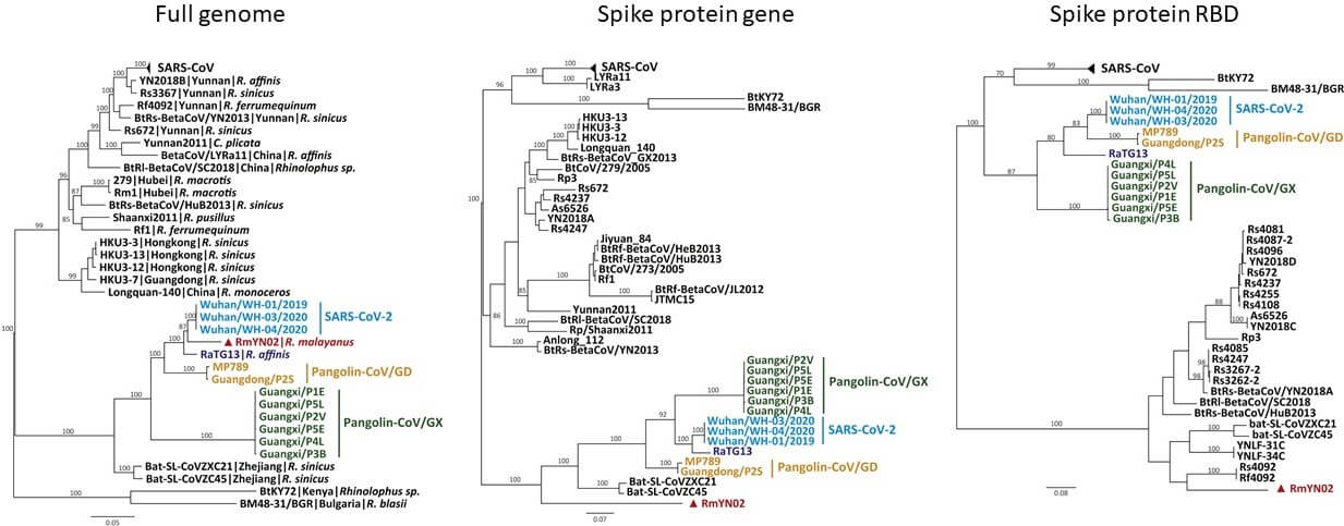 Merogenomics Blog Figure of coronaviruses evolutionary tree