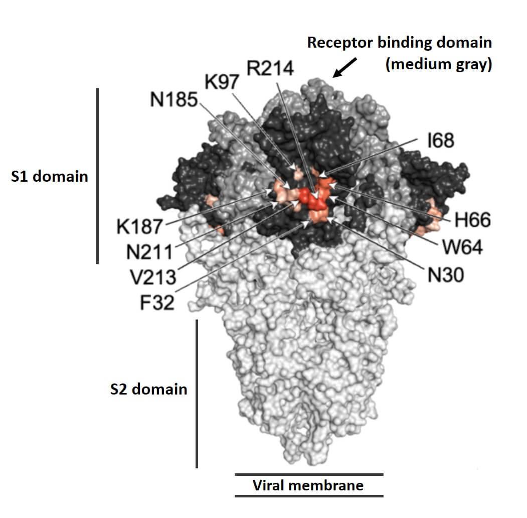 Merogenomics figure on enhancing antibodies epitope