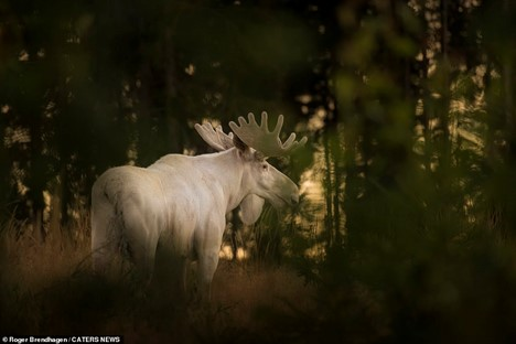 Picture of a white moose